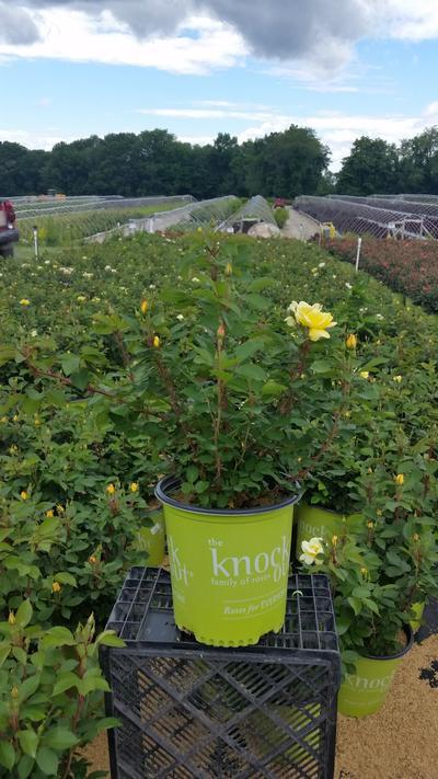 Rosa 'Sunny Knockout' - 2 Gal. Crop Shot for 2019-23