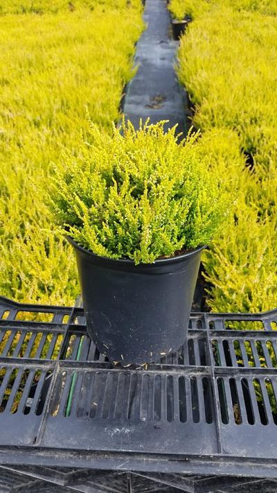 Calluna vulgaris 'Winter Chocolate' - 1 Gal. Crop Shot for 2019-28