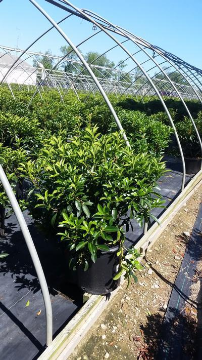 Kalmia latifolia 'Carousel' - 5 Gal. Crop Shot for 2019-34