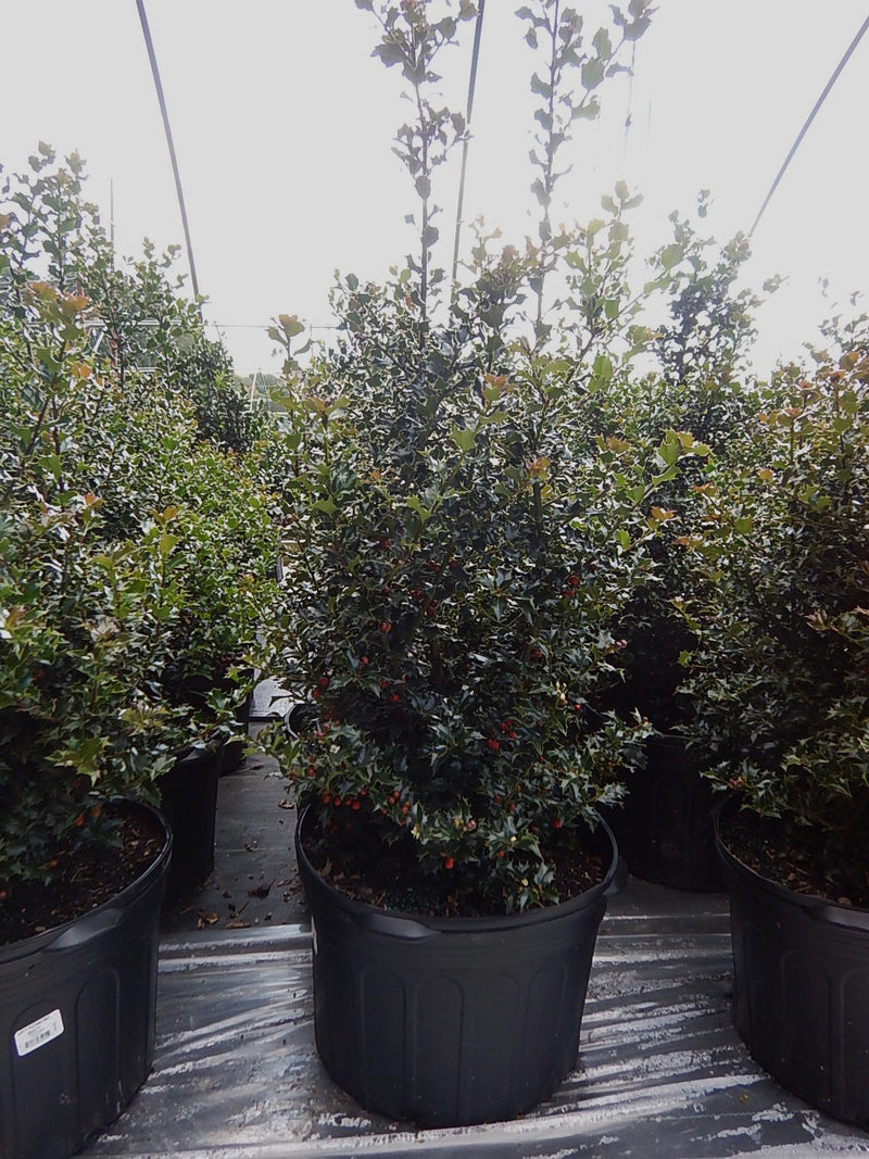 Ilex X rutzan 'Red Beauty' - #5 Crop Shot for 2017-37
