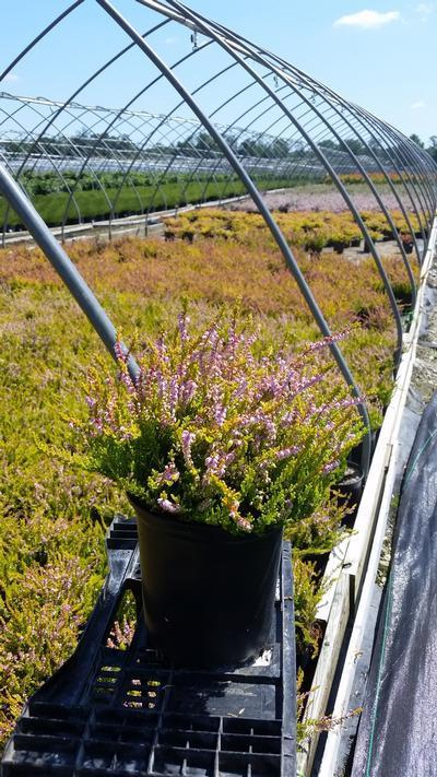 Calluna vulgaris 'Winter Chocolate' - 1 Gal. Crop Shot for 2019-33