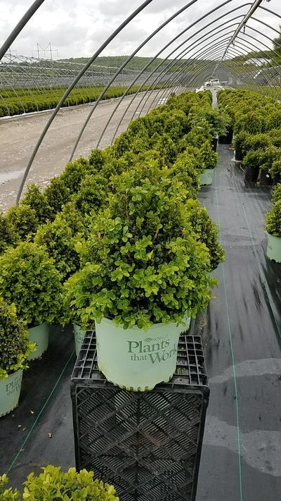 Buxus x 'Cranberry Creek' - 3 Gal. Crop Shot for 2019-20