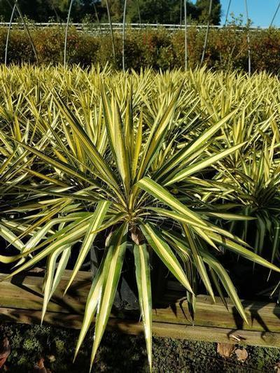 Yucca filamentosa 'Color Guard' - 3 Gal. Crop Shot for 2019-40