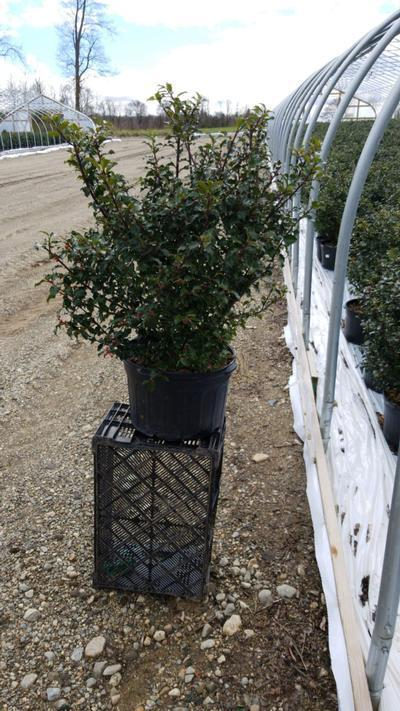 Ilex x meserveae 'Blue Princess' - 5 Gal. Crop Shot for 2020-18