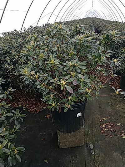 Rhododendron (azalea) 'Girards Fuchsia' - 3 Gal. Crop Shot for 2020-16