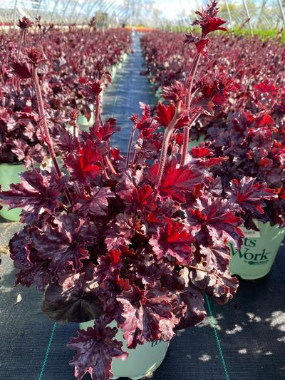 Heuchera 'Obsidian' - 8 In. Crop Shot for 2020-20