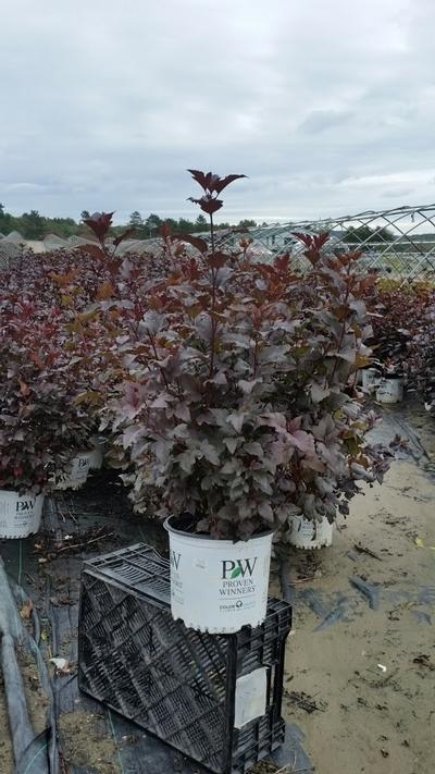 Physocarpus opulifolius 'Ginger Wine™' - 3 Gal. Crop Shot for 2019-40