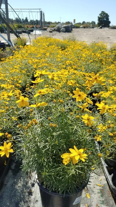 Coreopsis verticillata 'Zagreb' - 1 Gal. Crop Shot for 2019-38