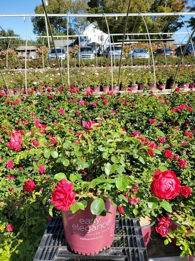 Rosa EASY ELEGANCE® 'Garden Art Super Hero' - 2 Gal. Crop Shot for 2020-40