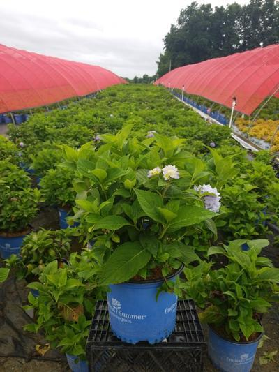 Hydrangea macrophylla ENDLESS SUMMER® 'The Original' - 3 Gal. Crop Shot for 2020-28