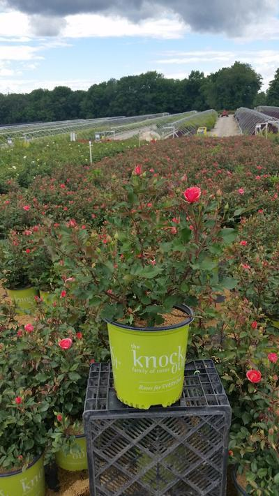 Rosa 'Coral Knock Out®' - 2 Gal. Crop Shot for 2019-23