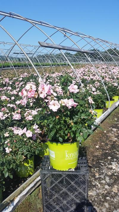 Rosa Peachy Knock Out® - 3 Gal. Crop Shot for 2019-29