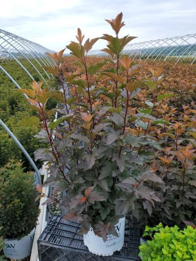 Physocarpus opulifolius 'Ginger Wine™' - 3 Gal. Crop Shot for 2020-31
