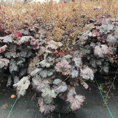 Heuchera villosa 'Black Sea' - 1 Gal. Crop Shot for 2019-24
