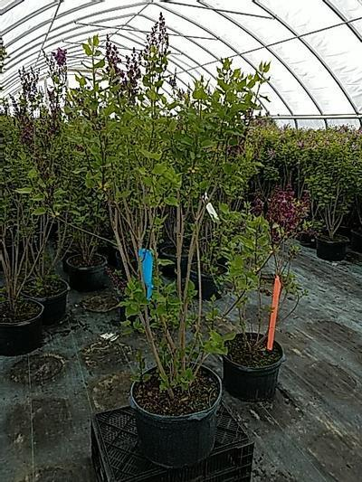 Syringa x hyacinthiflora 'Declaration' - 5 Gal. Crop Shot for 2020-17