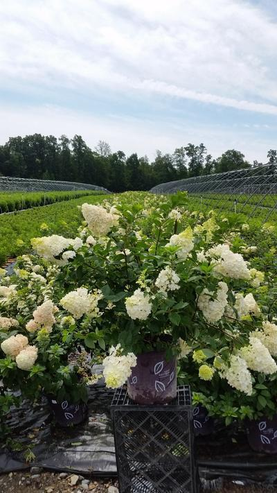 Hydrangea paniculata 'Strawberry Sundae®' - 5 Gal. Crop Shot for 2019-30