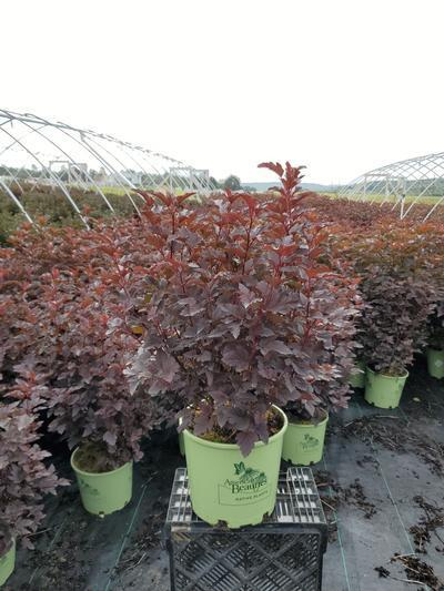 Physocarpus opulifolious 'Center Glow' - 3 Gal. Crop Shot for 2020-37