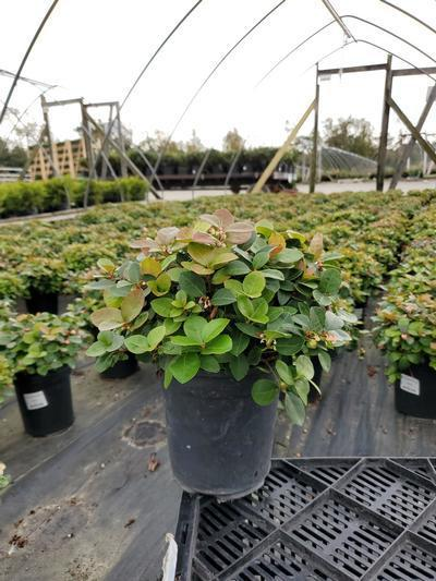Gaultheria procumbens 'Peppermint Pearl' - 1 Gal. Crop Shot for 2020-40