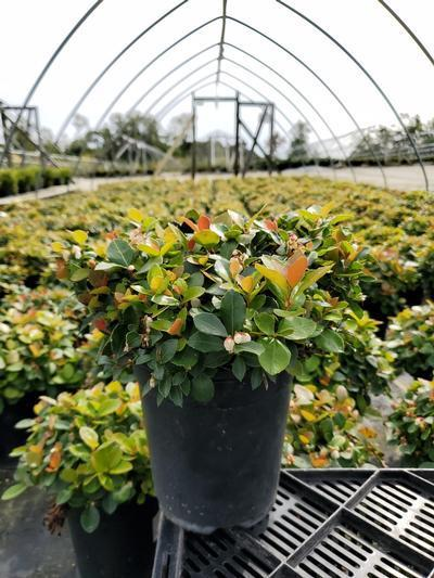 Gaultheria procumbens 'Peppermint Pearl' - 1 Gal. Crop Shot for 2020-39