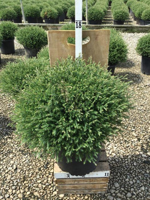 Thuja occidentalis 'Mr. Bowling Ball' - 3 Gal. Crop Shot for 2020-35