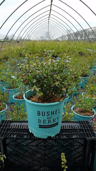 Vaccinium 'Blueberry Glaze' - #2 Crop Shot for 2018-18