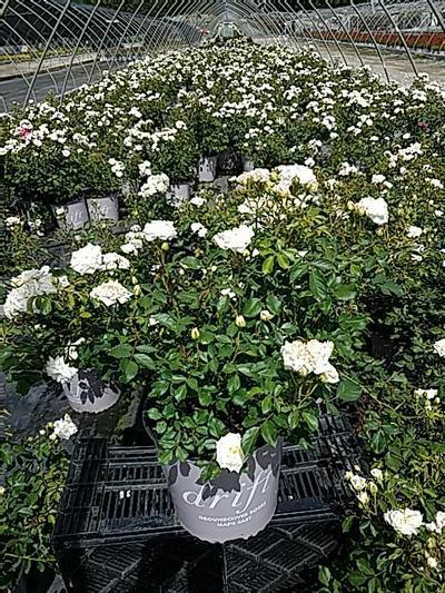 Rosa 'White Drift' - 2 Gal. Crop Shot for 2020-24
