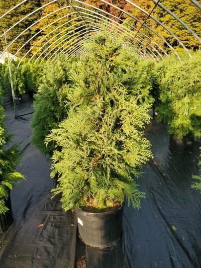 Thuja occidentalis 'Nigra' - 7 Gal. Crop Shot for 2020-38