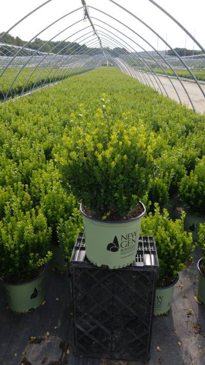 Buxus NewGen™ Freedom®  NEW - 3 Gal. Crop Shot for 2020-39