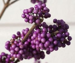 Callicarpa 'Purple Giant' - 3 Gal.