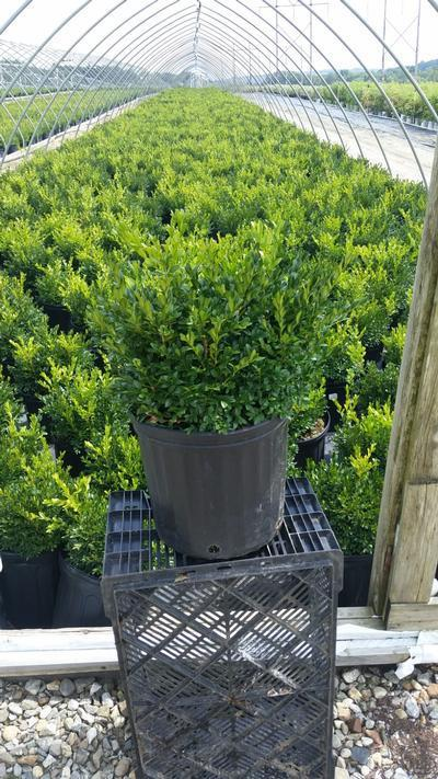 Buxus microphylla var. japonica 'Green Gem' - 3 Gal. Crop Shot for 2019-35