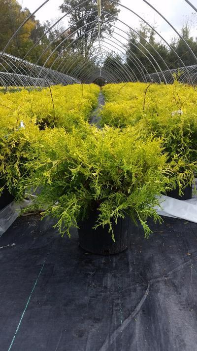 Chamaecyparis pisifera 'Vintage Gold' - 2 Gal. Crop Shot for 2019-40