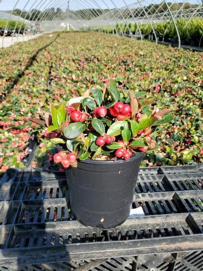Gaultheria procumbens - 1 Gal. Crop Shot for 2020-39