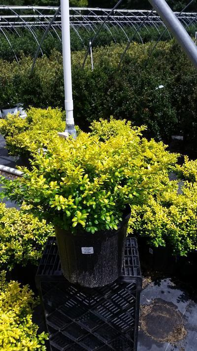Ilex crenata 'Drops Of Gold' - #3 Crop Shot for 2018-30