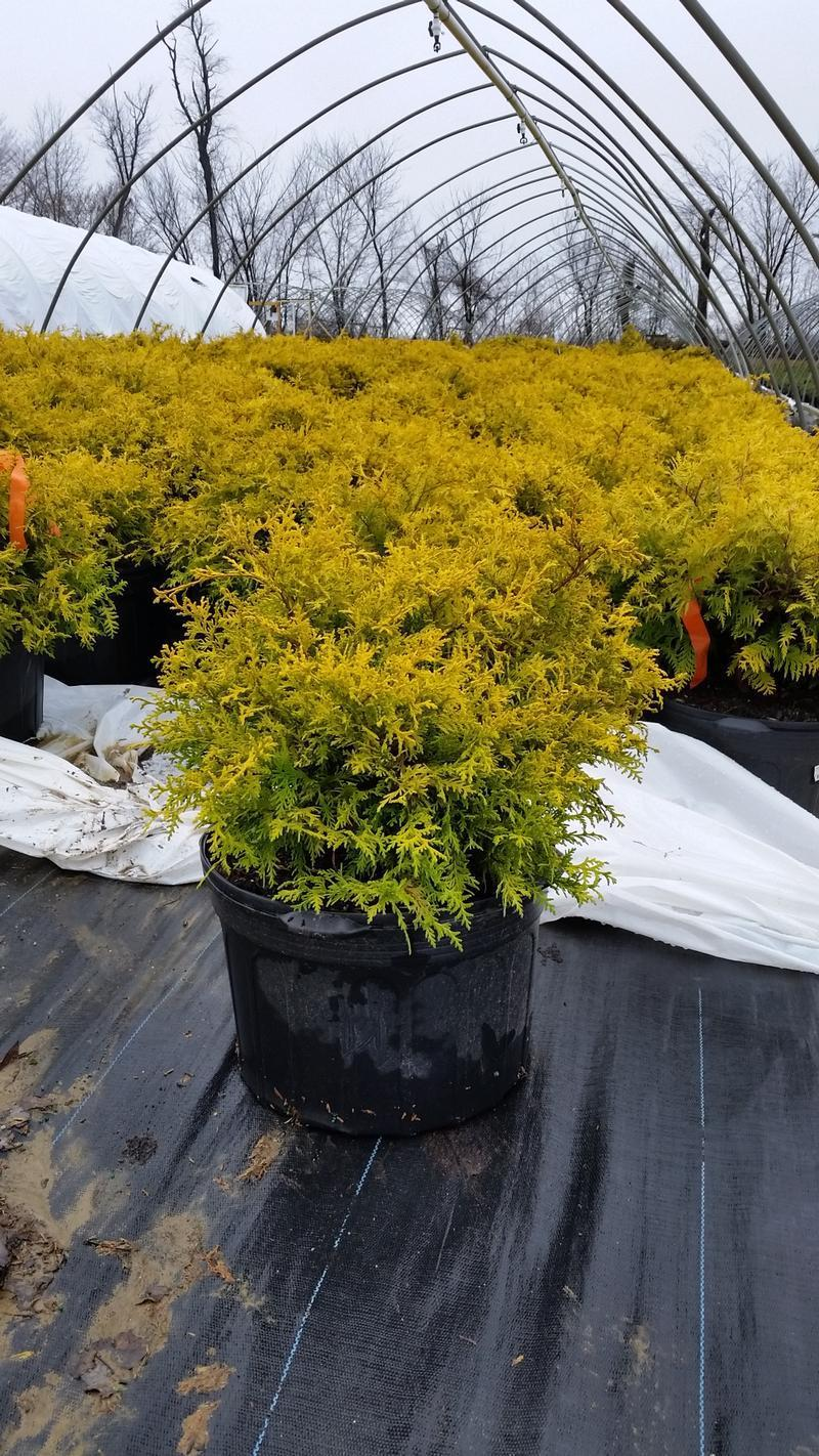Chamaecyparis pisifera 'Vintage Gold' - 5 Gal. Crop Shot for 2019-14