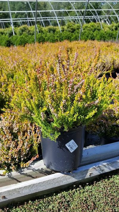 Calluna vulgaris 'Winter Chocolate' - 1 Gal. Crop Shot for 2019-35