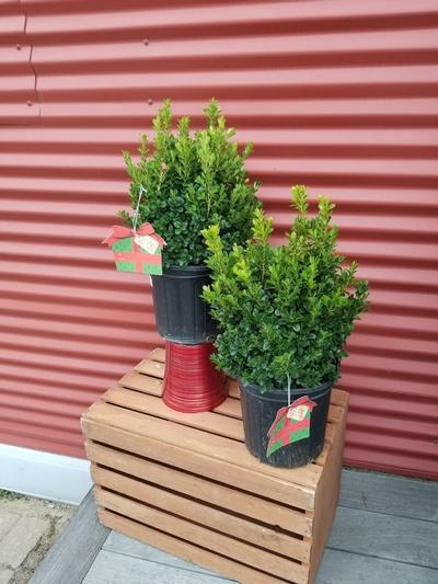 Buxus x 'Cranberry Creek' - 2 Gal. Crop Shot for 2020-40