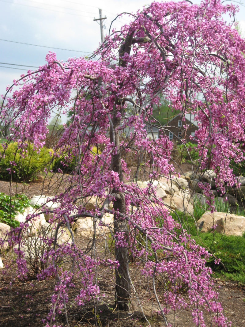 Cercis canadensis 'Covey' - 7 Gal. Low Branched