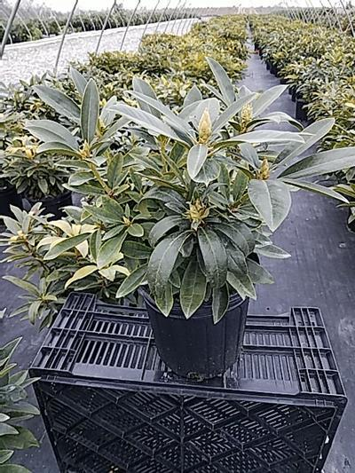Rhododendron catawbiense 'Chinoides' - 2 Gal. Crop Shot for 2020-17