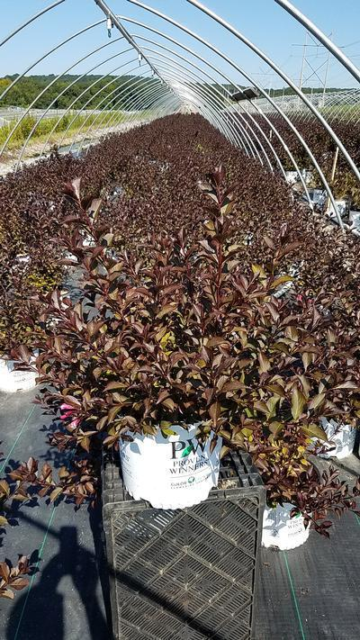 Weigela 'Fine Wine' - 3 Gal. Crop Shot for 2019-31