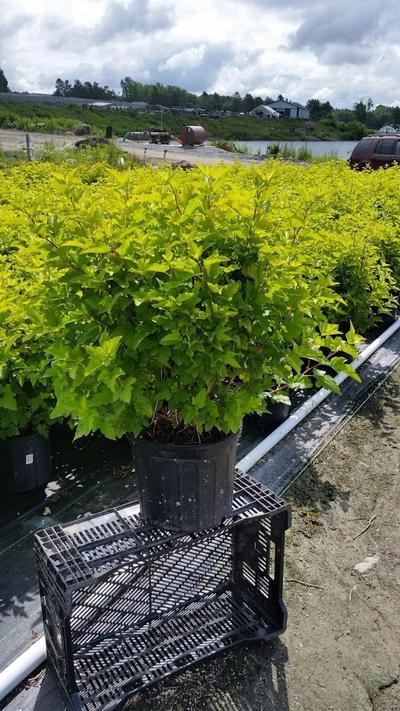 Physocarpus opulifolius 'Gumdrop Lemon Candy' - 3 Gal. Crop Shot for 2019-28
