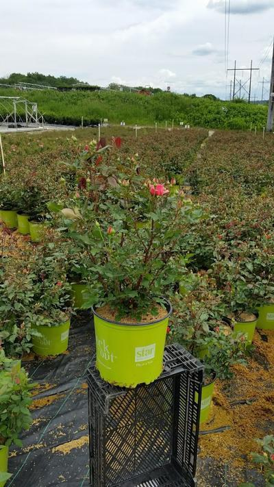 Rosa Coral Knock Out® - 3 Gal. Crop Shot for 2019-22