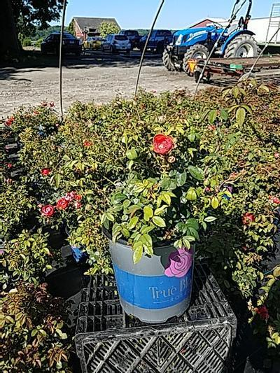 Rosa 'True Passion™ Rose' - 2 Gal. Crop Shot for 2020-26