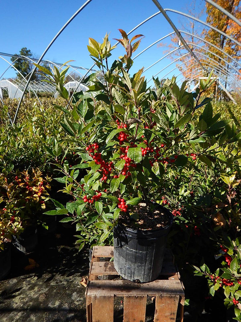 Ilex verticillata 'Winter Red' - #2 Crop Shot for 2017-43