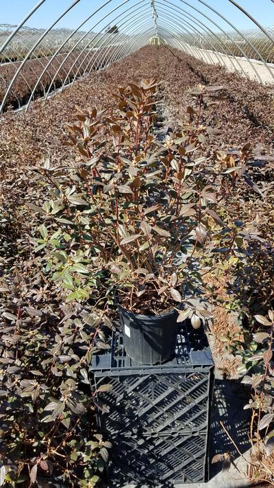 Rhododendron 'Aglo' - 2 Gal. Crop Shot for 2020-12
