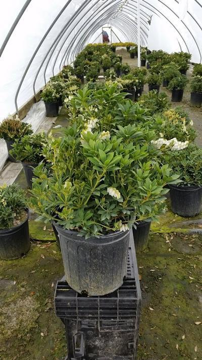 Pieris japonica 'Cavatine' - 2 Gal. Crop Shot for 2019-16