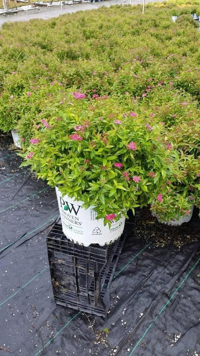 Spiraea Double Play 'Painted Lady' - 3 Gal. Crop Shot for 2019-33
