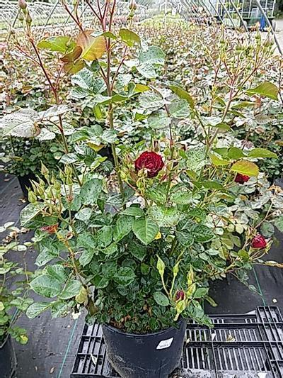 Rosa 'Navy Lady' - 3 Gal. Crop Shot for 2020-22