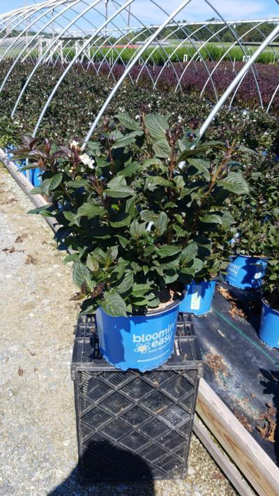 Weigela x 'Tuxedo' - 3 Gal. Crop Shot for 2020-35