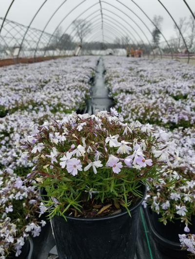 Phlox subulata 'Emerald Blue' - 1 Gal. Crop Shot for 2020-17