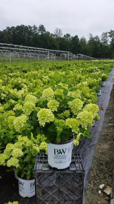 Hydrangea paniculata 'Little Lime®' - 2 Gal. Crop Shot for 2019-28